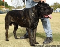cane-corso-deluxe-luxury-leather-dog-harness-padded-5