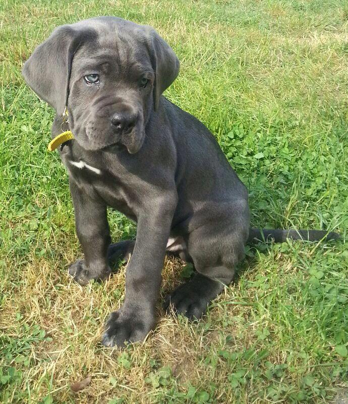 Pareri cucciolo cane corso cane corso - Cane occhi azzurri ...