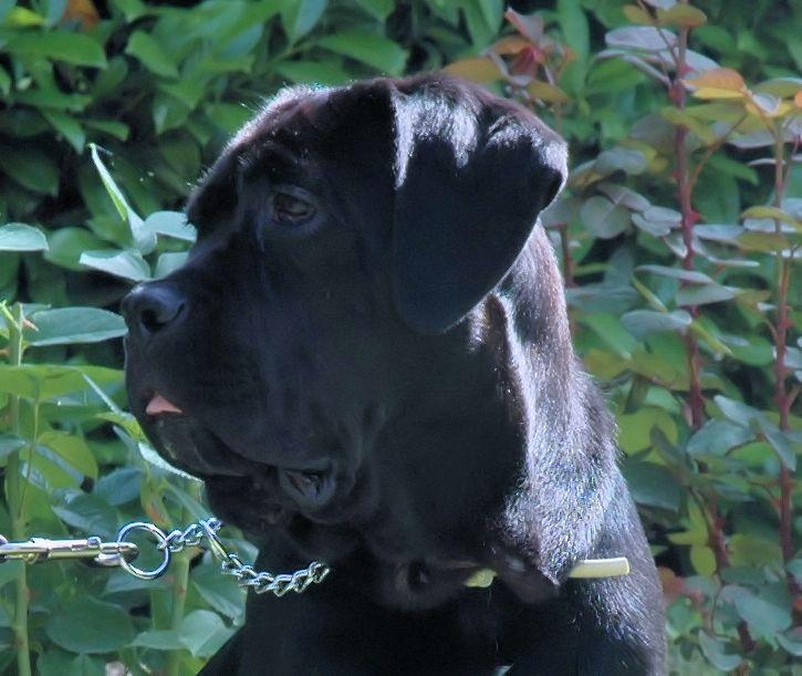 Ghiandola della terza palpebra cane corso for Antinfiammatorio cane