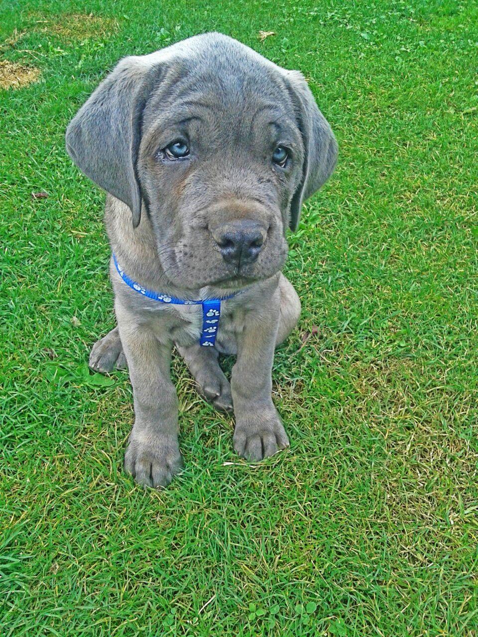 Ciao da torino cane corso - Cane occhi azzurri ...