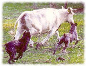 cane corso bestiame