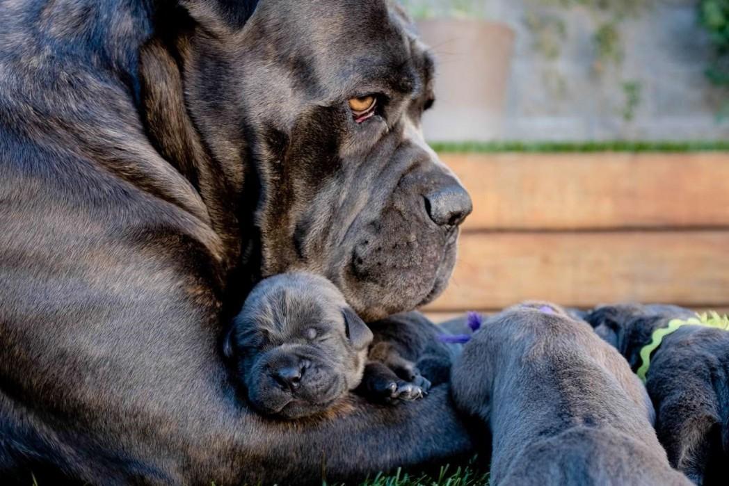 cane-corso-cuccioli1