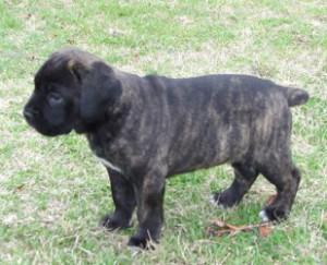 cane-corso-puppies-5