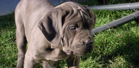 Damon, allevamento cane corso dei legionari