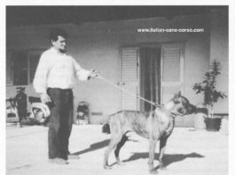 cane-corso-umberto-leone